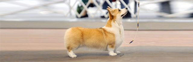 Banniere_pages_corgi_acc
