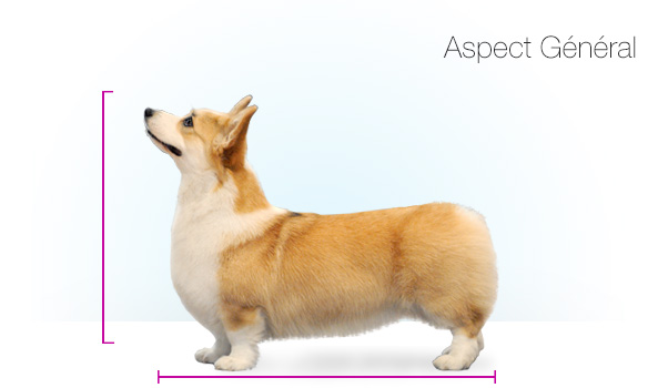 Standards_Corgi_kate_02
