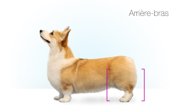 Standards_Corgi_kate_10