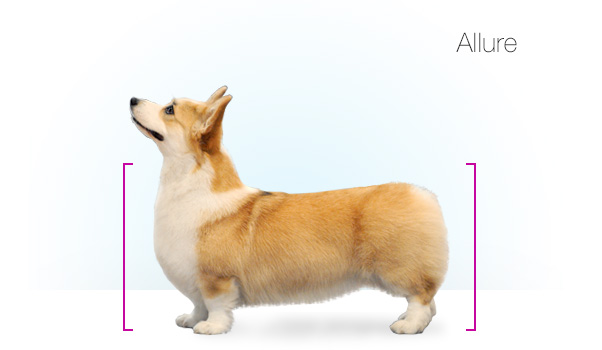 Standards_Corgi_kate_15