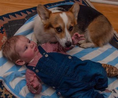 Mezzoo Corgi Tout le chien est dans son regards (Paul Valery)(