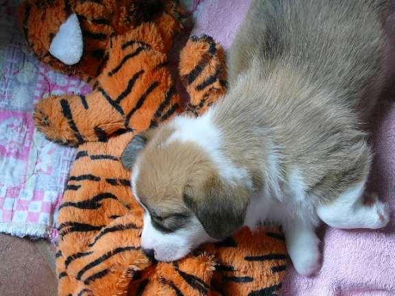 Mezzoo ami le tigre